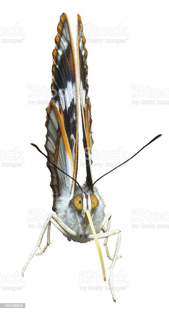 Butterfly (Apatura schrencki) stock photo