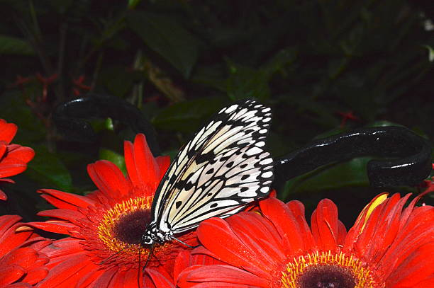 butterfly - - liliana stock-fotos und bilder