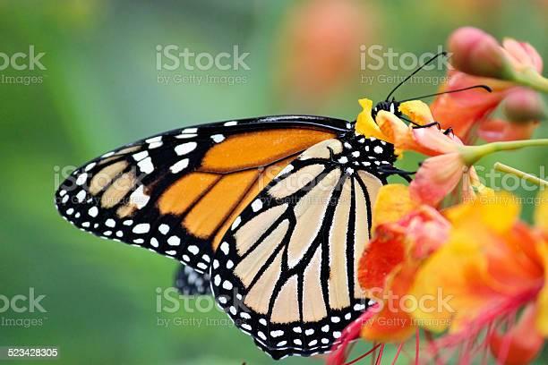 Butterfly picture id523428305?b=1&k=6&m=523428305&s=612x612&h=s6pbqn5rg5xep6np4lfe0zjuzrohmc0yhcugu8gnq78=