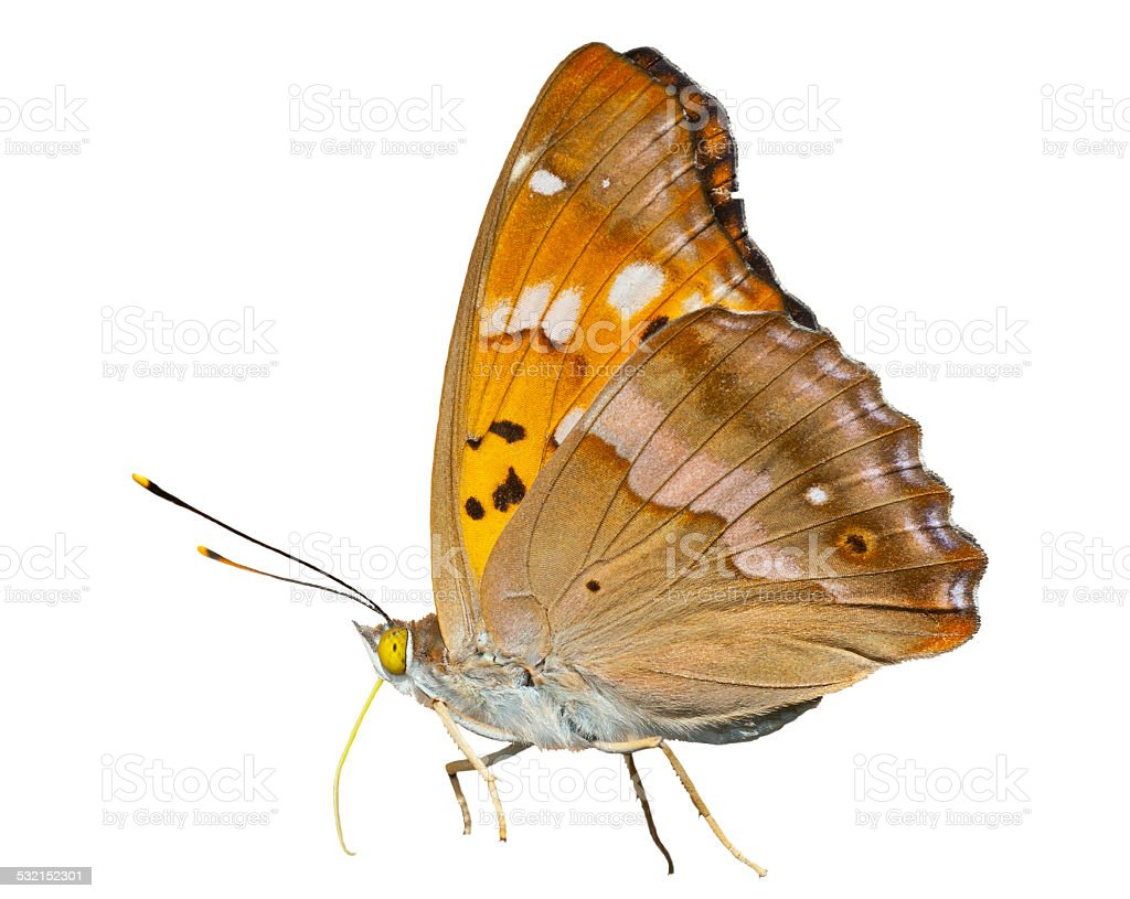 Butterfly (Apatura substituta) stock photo