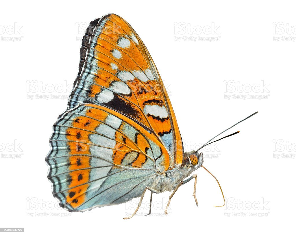 Butterfly (Limenitis populi ussuriensis) stock photo