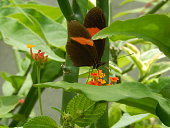 The beautiful butterfly perches on the jasmine flower with delicacy and speed as it extracts its pollen