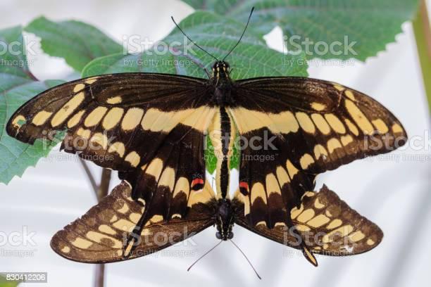 Butterfly picture id830412206?b=1&k=6&m=830412206&s=612x612&h=pia5 xijfpsaw2ppbtttqkutzydnds e6nqgjb lids=