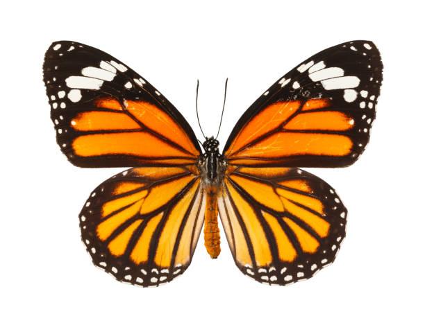 Butterfly picture id899279224?b=1&k=6&m=899279224&s=612x612&w=0&h=sottpxp75cm51futxja9vctzropmol6f pxrjh8siuc=