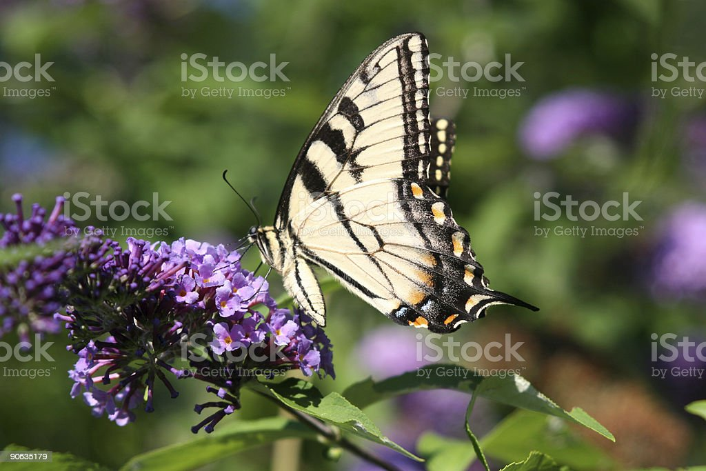 Butterfly - Royalty-free Black Color Stock Photo
