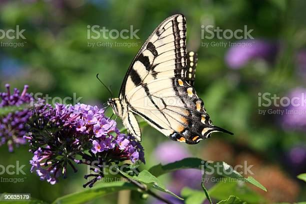 Butterfly Stock Photo - Download Image Now