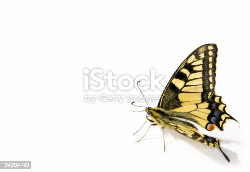 butterfly on white background (Papilio machaon; Swallowtail)