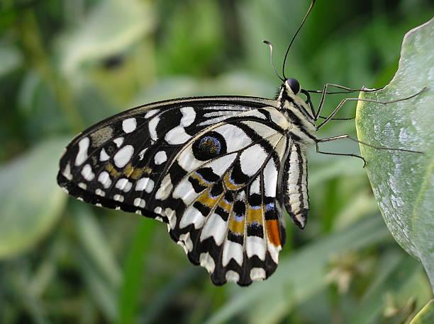 Butterfly - – Foto