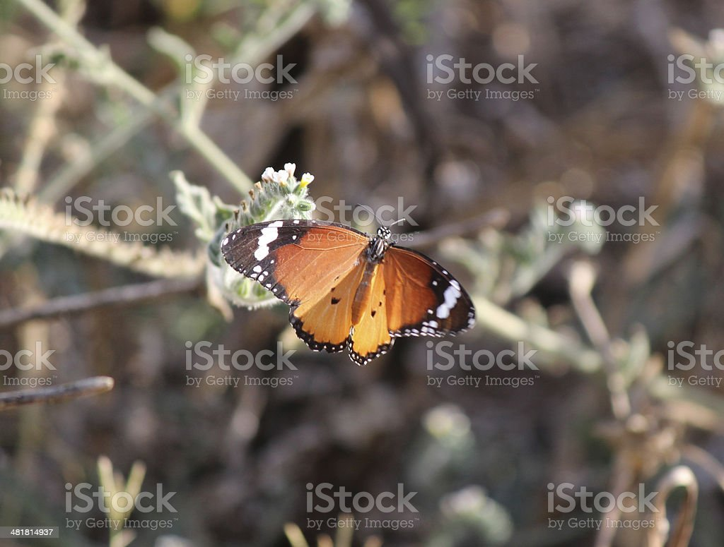 Butterfly Plain Tiger  African Monarch royalty-free stock photo