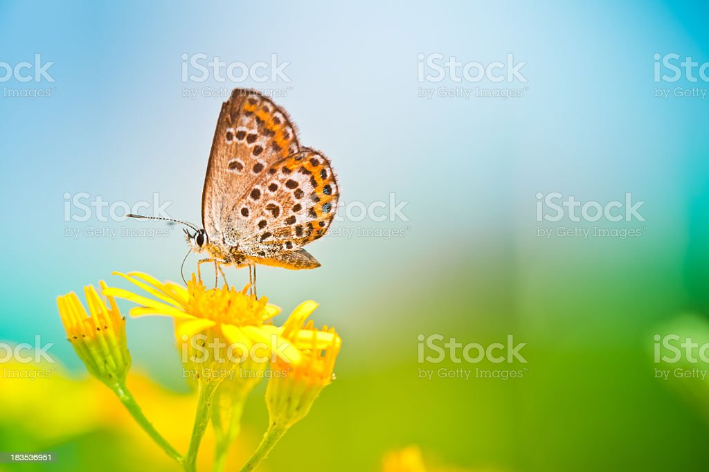 Butterfly pollinating flower - Royalty-free Animal Stock Photo