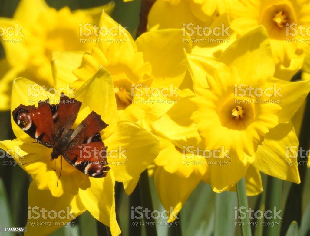 Una Mariposa Polinizando Unas Flores Amarillas Foto De Stock