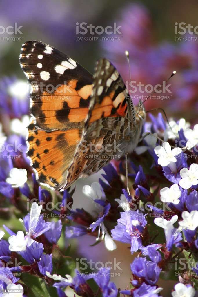 'Butterfly put in a violet and white flower' stock photo