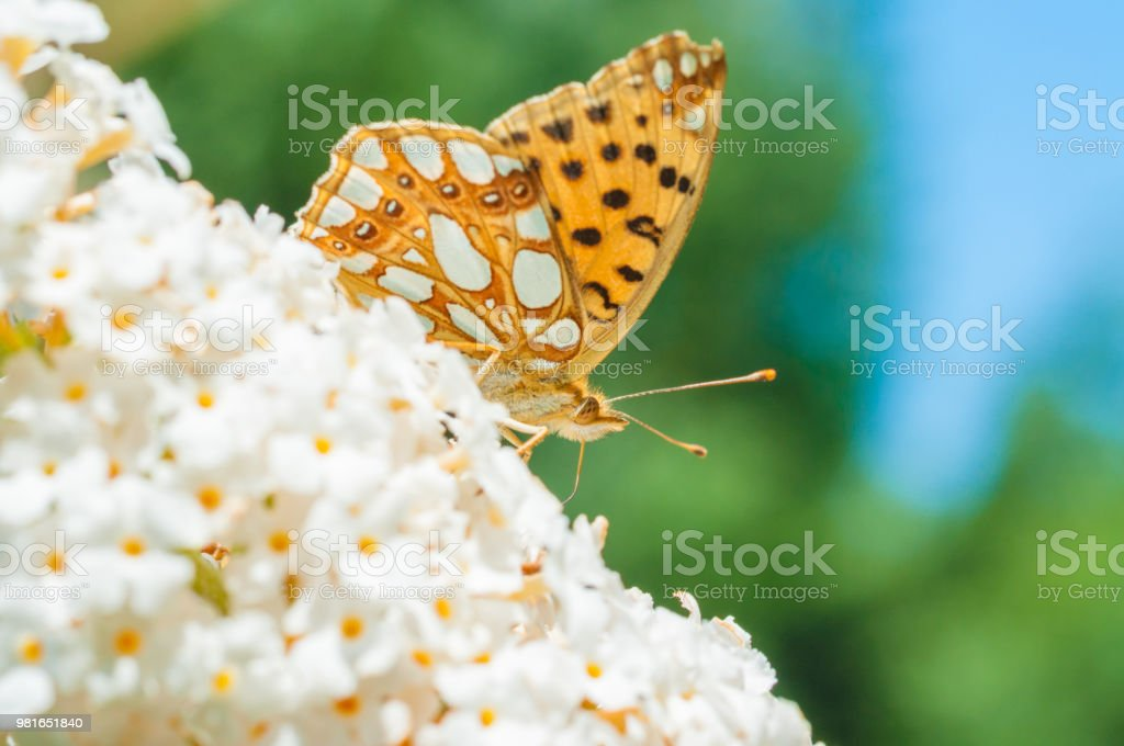 Butterfly Queen of Spain Fritillary on flower stock photo