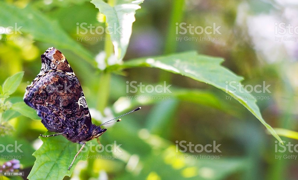 Butterfly Red Admiral on green leaf. Vanessa atalanta butterfly stock photo