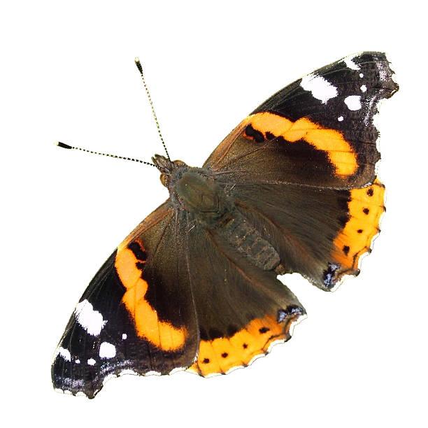 Cтоковое фото Красный Адмирал бабочка