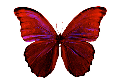 istock Butterfly red pink wings beautiful insect isolated on white background 503708748