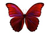 バタフライレッドピンクの羽の美しい昆虫白背景