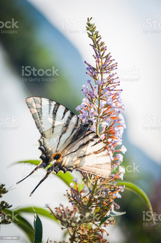 Butterfly resting on a flower closeup stock photo