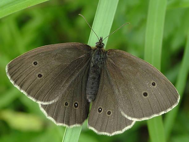 Cтоковое фото Бабочка Локоны