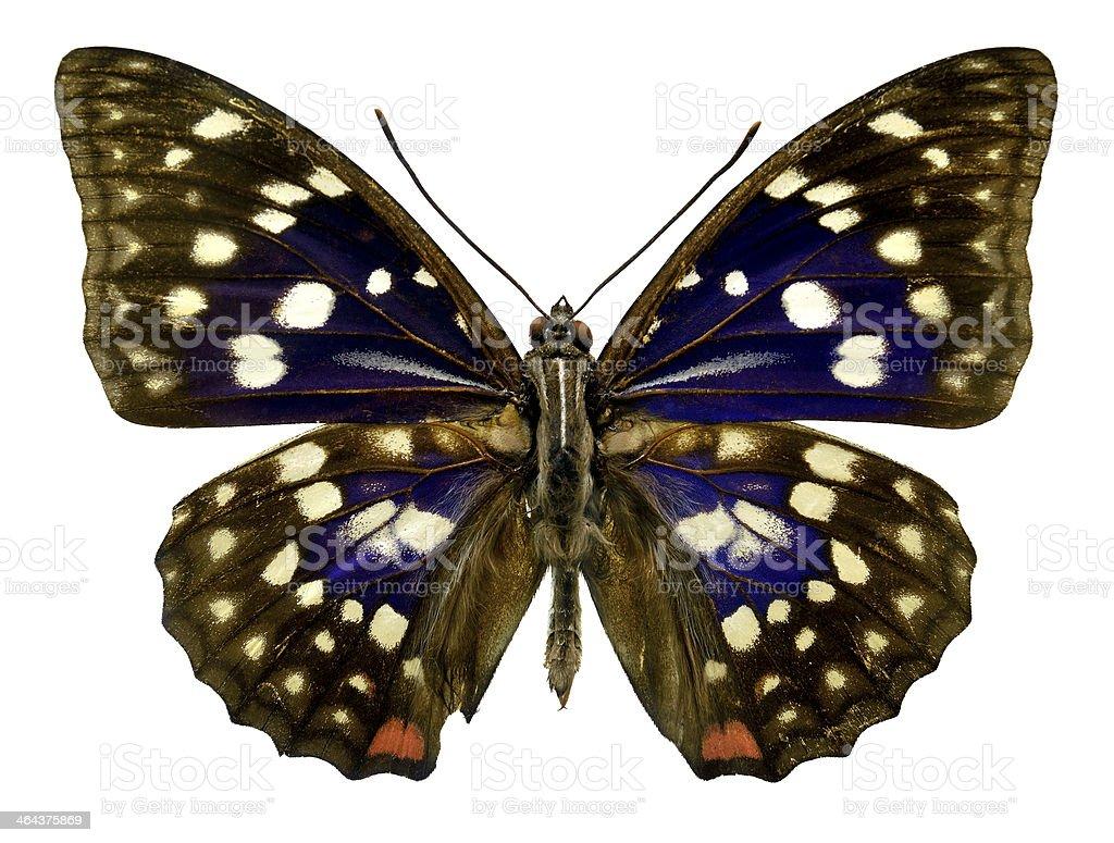 Butterfly Sasakia charonda (Clipping path) royalty-free stock photo