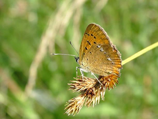 Cтоковое фото Бабочка ограниченных медных