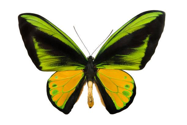 Butterfly schoenbergia goliath supremus picture id1027041102?b=1&k=6&m=1027041102&s=612x612&w=0&h=2bwbkjlimc7wnhffrquphaiftxwvty4rr9t5wbqwazi=