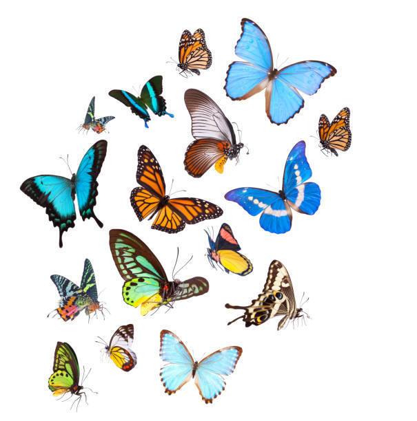 Butterfly set isolated on white picture id1198327617?b=1&k=6&m=1198327617&s=612x612&w=0&h=sstc5zqwngdpzvnago6evqmghjhe4b2u8xspkzzrddw=