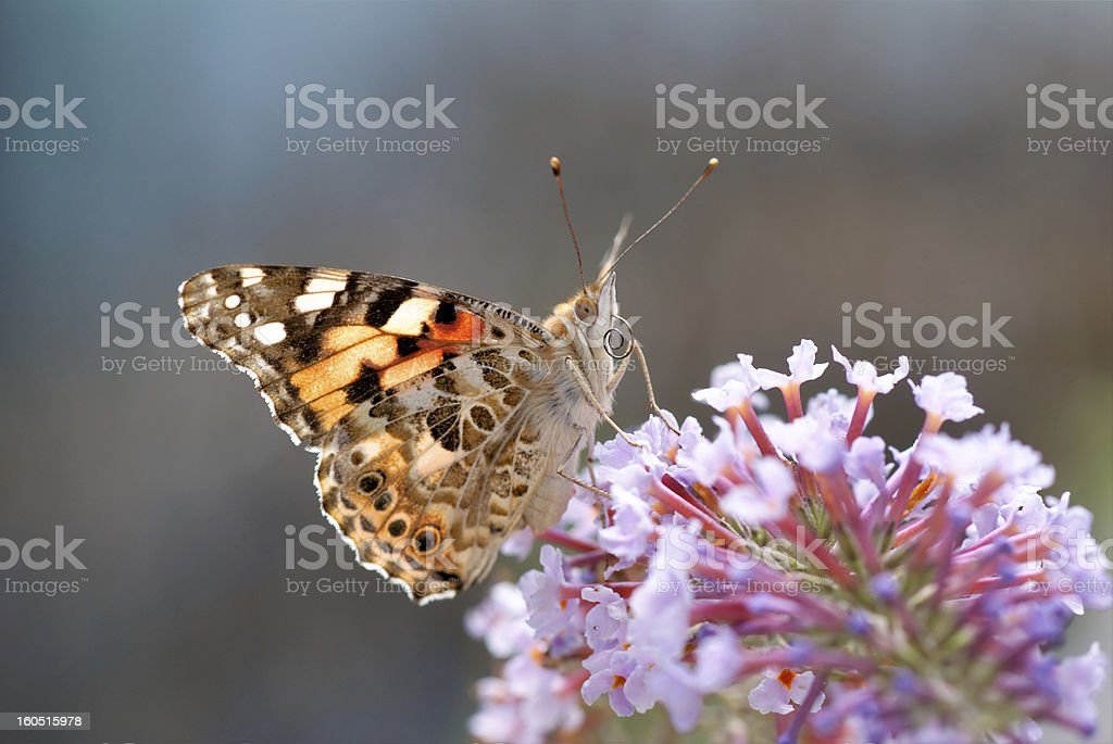 Butterfly showing his tongue royalty-free stock photo