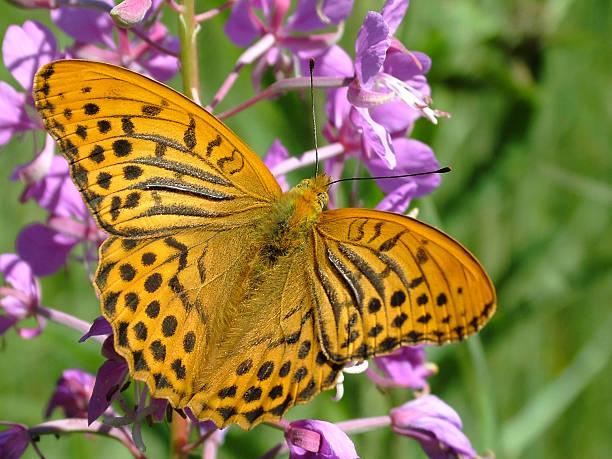 Cтоковое фото Бабочка серебристый выбеленный Fritillary