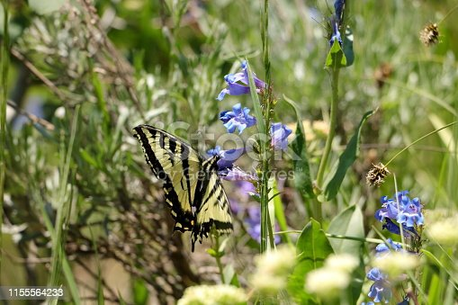 A Two-tailed swallowtail butterfly sips nectar from the Mountain bluebell flower in Park City, Utah.