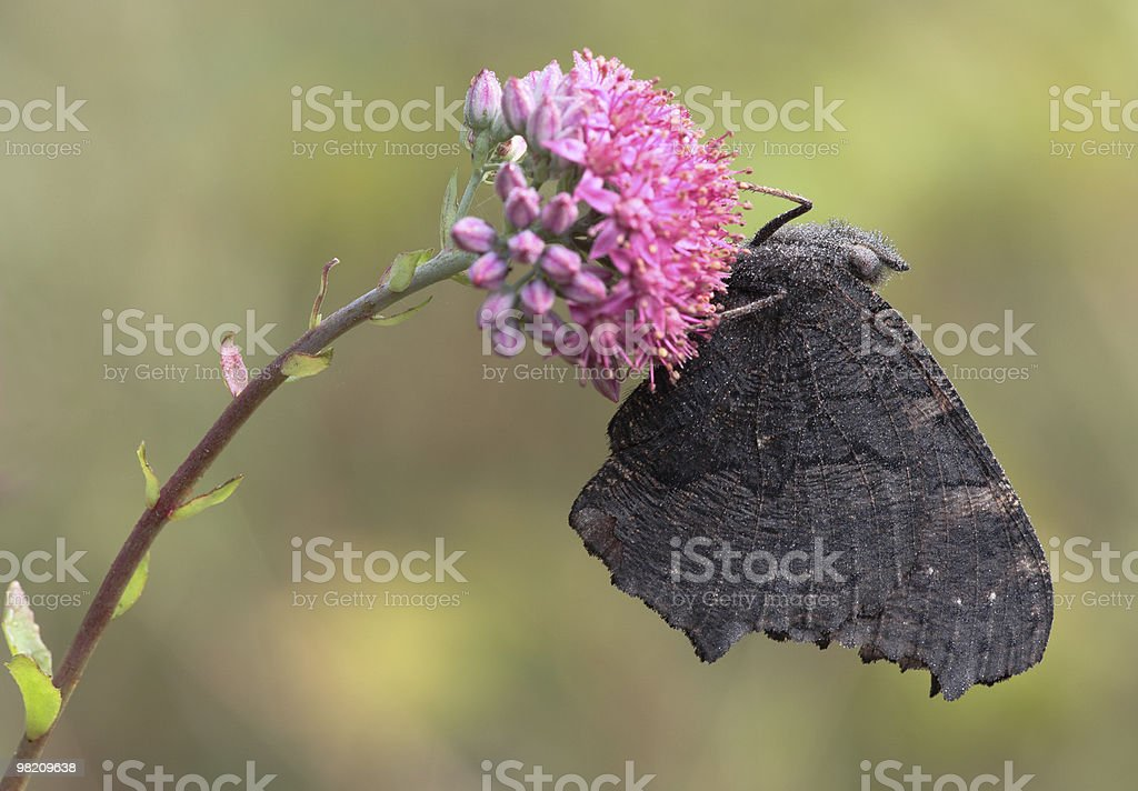 Butterfly sits on a flower. royalty-free stock photo