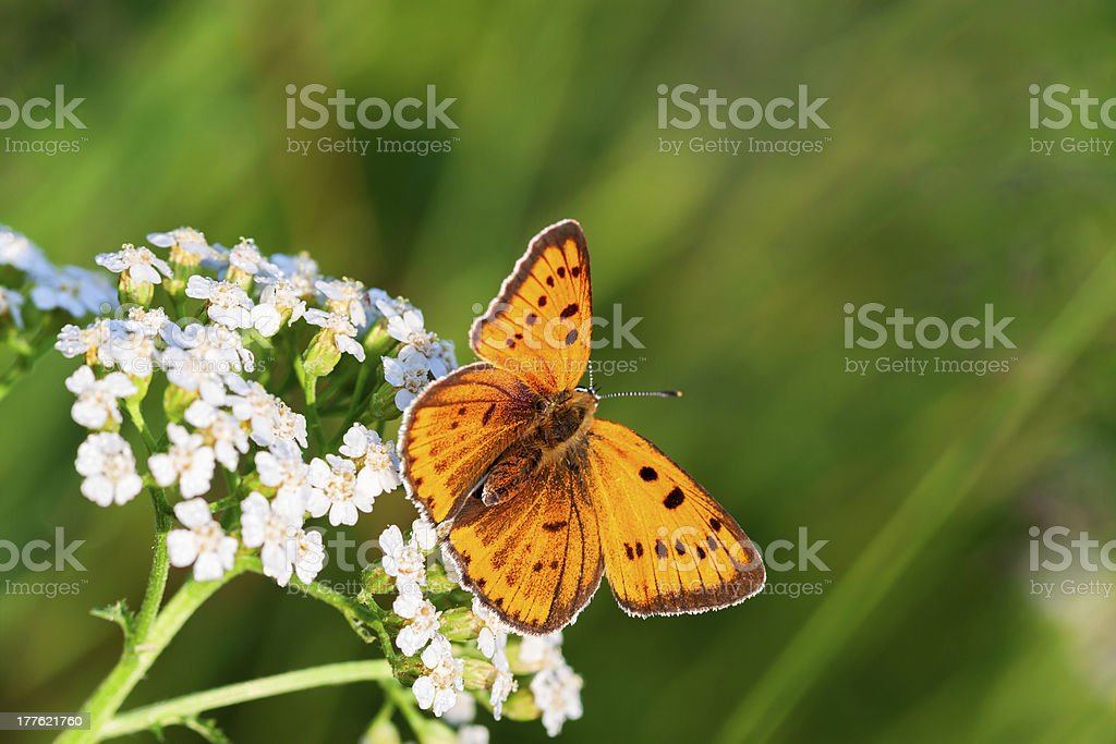 butterfly sits on white flowers royalty-free stock photo