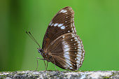 Brown colour butterfly sitting on a rock with green nature