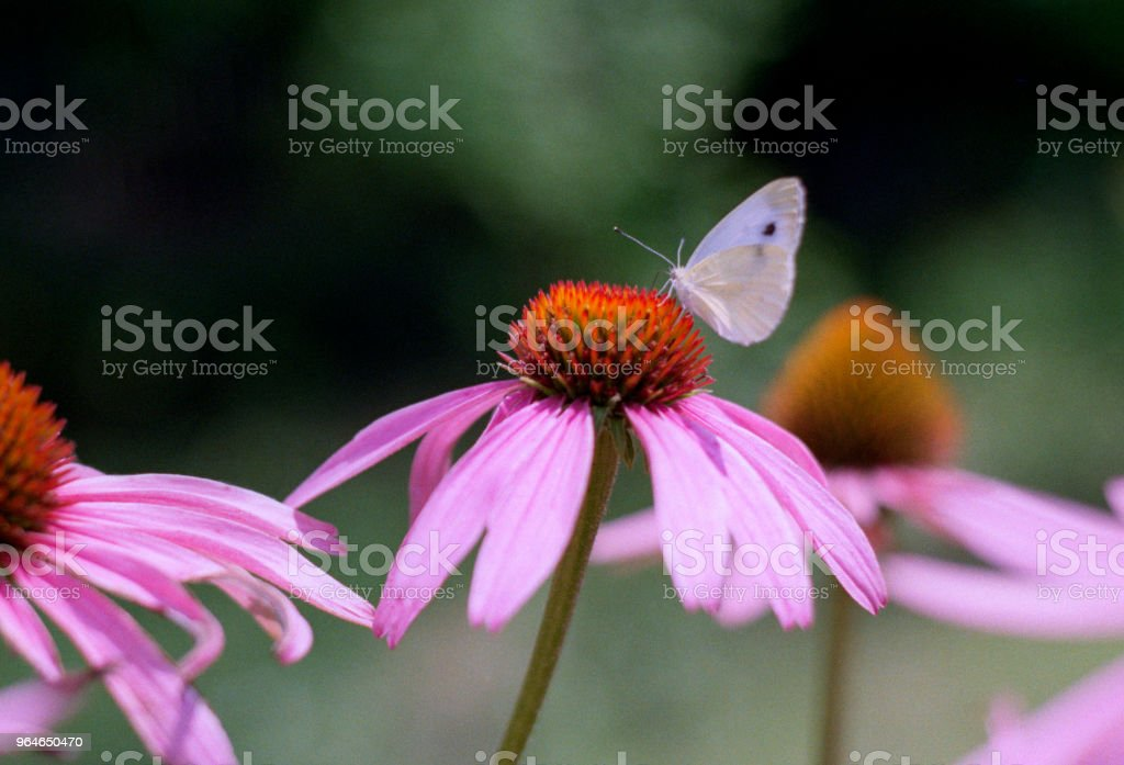 Butterfly sitting on echinacea flower, close-up image. Shot on film royalty-free stock photo