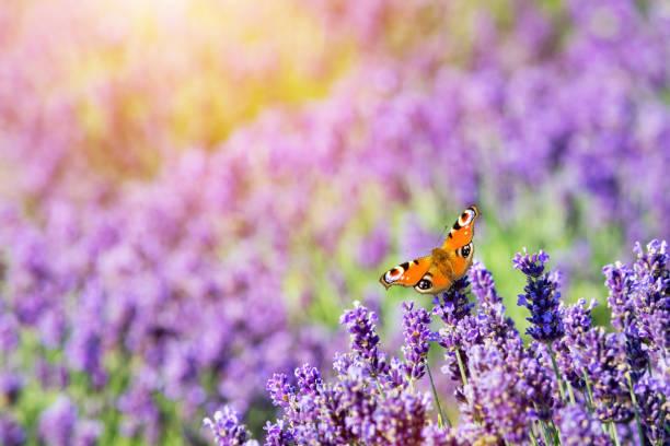 Butterfly sitting on lavender flower picture id921987930?b=1&k=6&m=921987930&s=612x612&w=0&h=wqndd 5skozulghjhceis1m9isn5gdyegadpxxrrf3c=