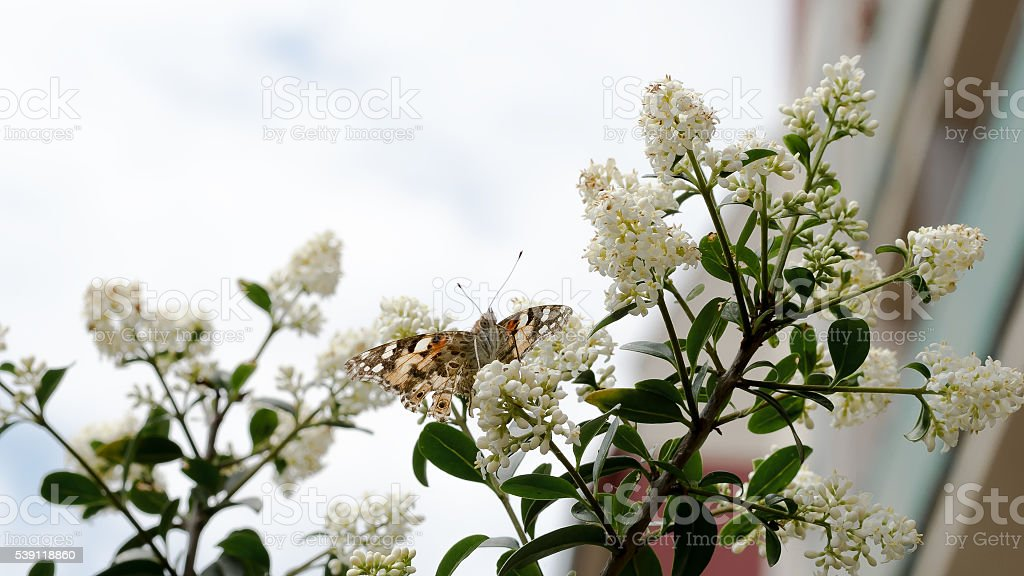 Butterfly sitting on lilac stock photo