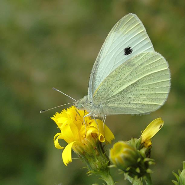 Cтоковое фото Бабочка Маленький белый