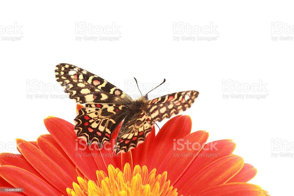 Butterfly Spanish festoon posed on an orange gerbera stock photo
