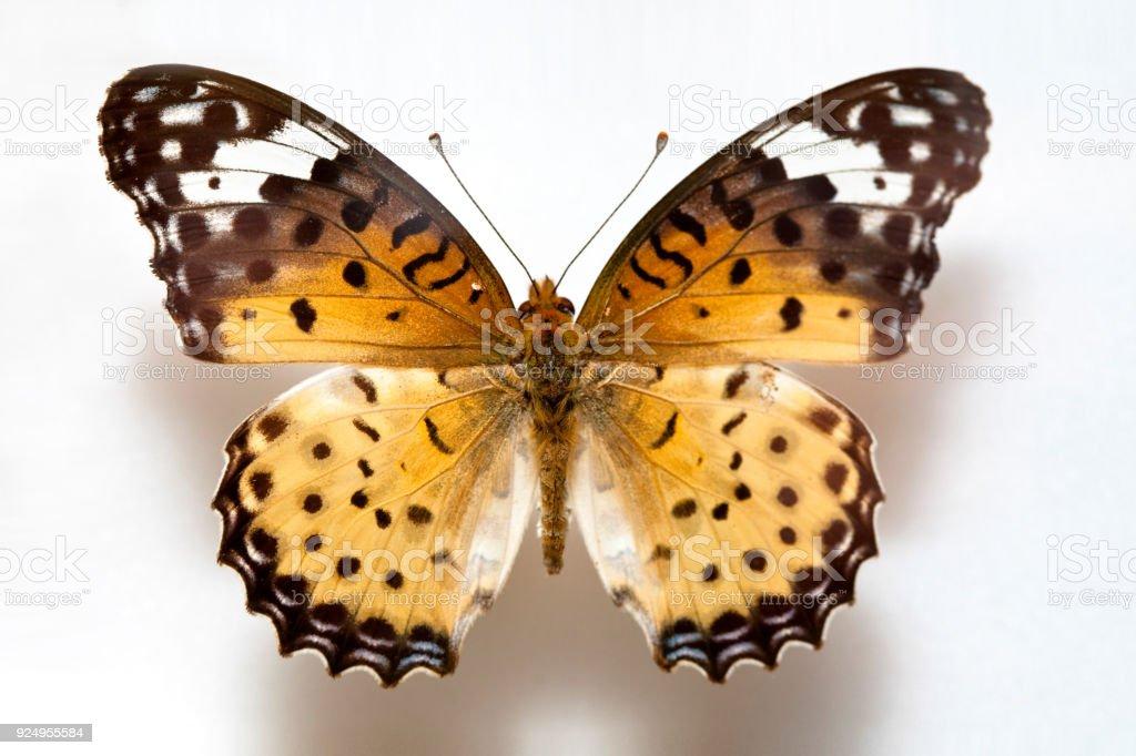 Butterfly specimen korea,Argyreus hyperbius,Black-tipped fritillary,Male stock photo