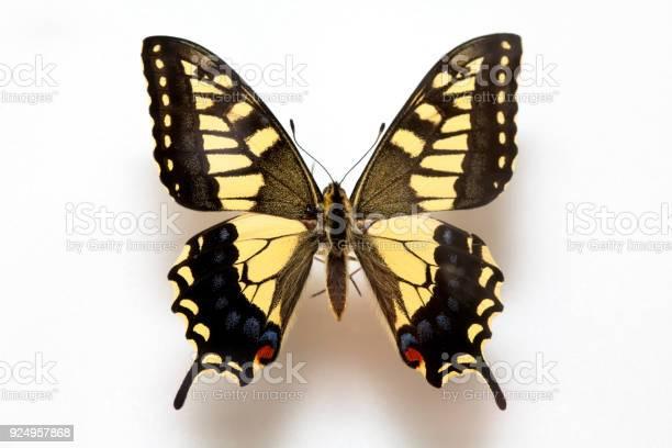 Butterfly specimen koreapapilio machaon linnaeuspapilio machaon picture id924957868?b=1&k=6&m=924957868&s=612x612&h=n1fvcofvlxcwojnp ge p  qia8eegqaosjqcvjhul0=