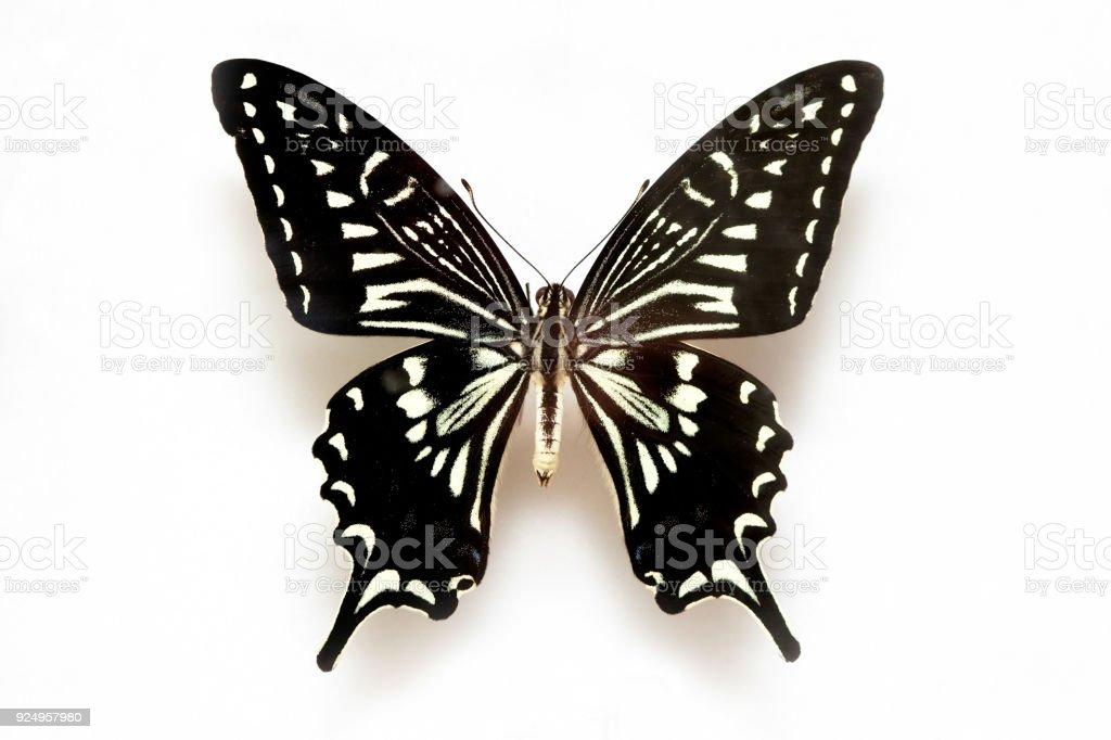 Butterfly specimen korea,Tiger Swallowtail,Male stock photo