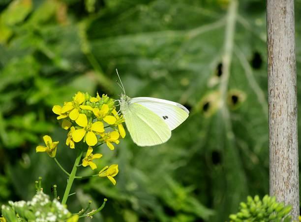 butterfly specimen Pieris brassicae stock photo