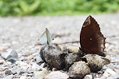 The Common Palmfly and the Common Tit Butterfly sucking and eating mineral in animal feces , Colorful abstract pattern on brown wings of tropical insect , Thailand