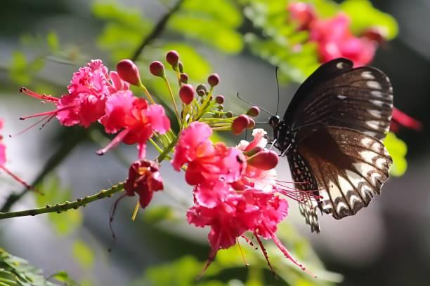 vlinder zuigen bloem - bestuiving stockfoto's en -beelden