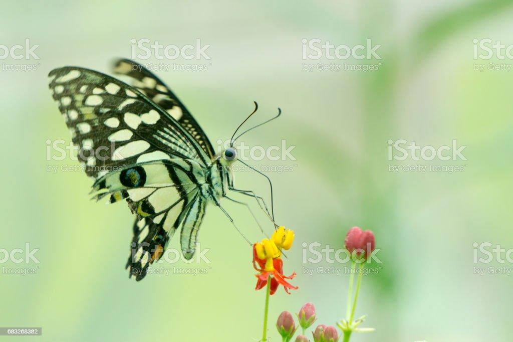 蝴蝶吮吸花朵的花蜜。 免版稅 stock photo
