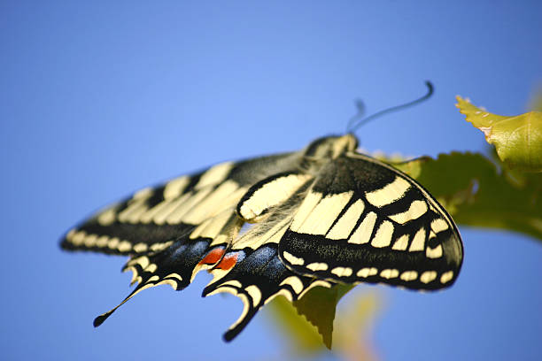 Butterfly Swallowtail Papilio Machaon stock photo