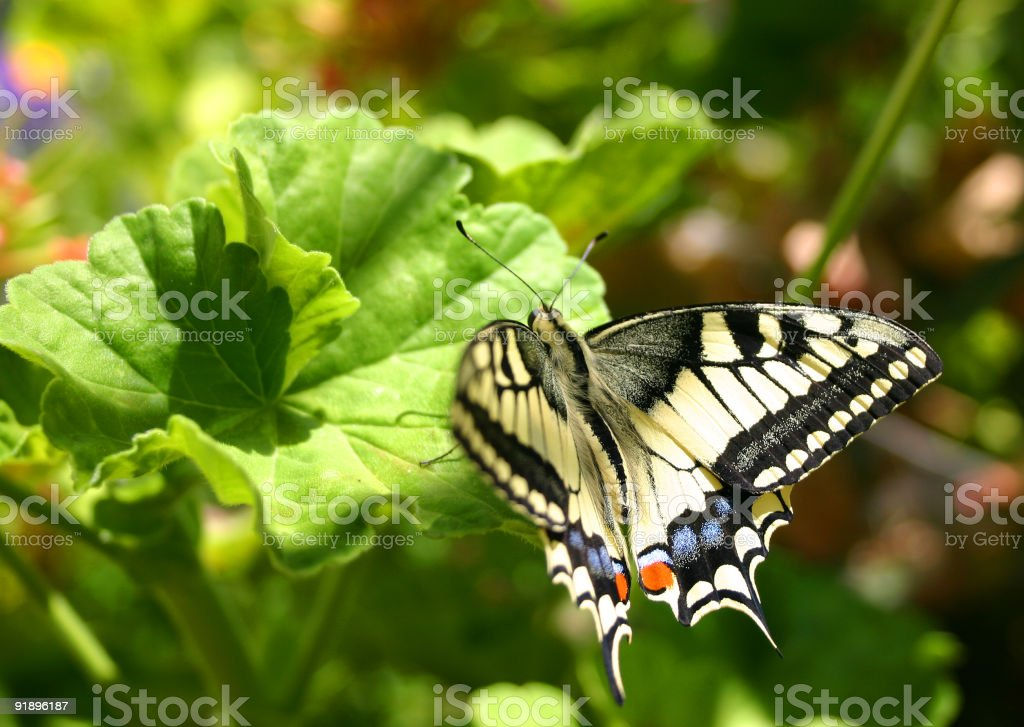 Butterfly Swallowtail Papilio Macheon stock photo