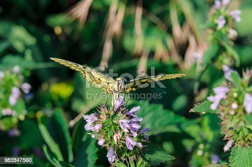 Butterfly on a flower. A colorful butterfly swallowtail sits on a flower in a field. Butterfly close-up. Butterfly front view.