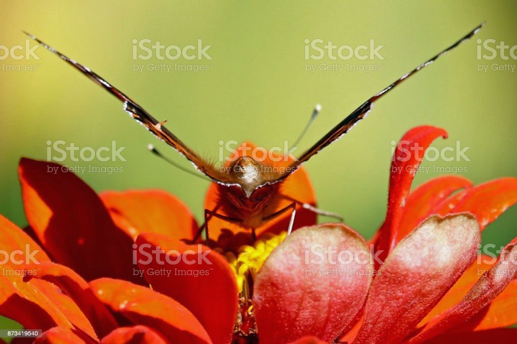 Butterfly Taking Off stock photo