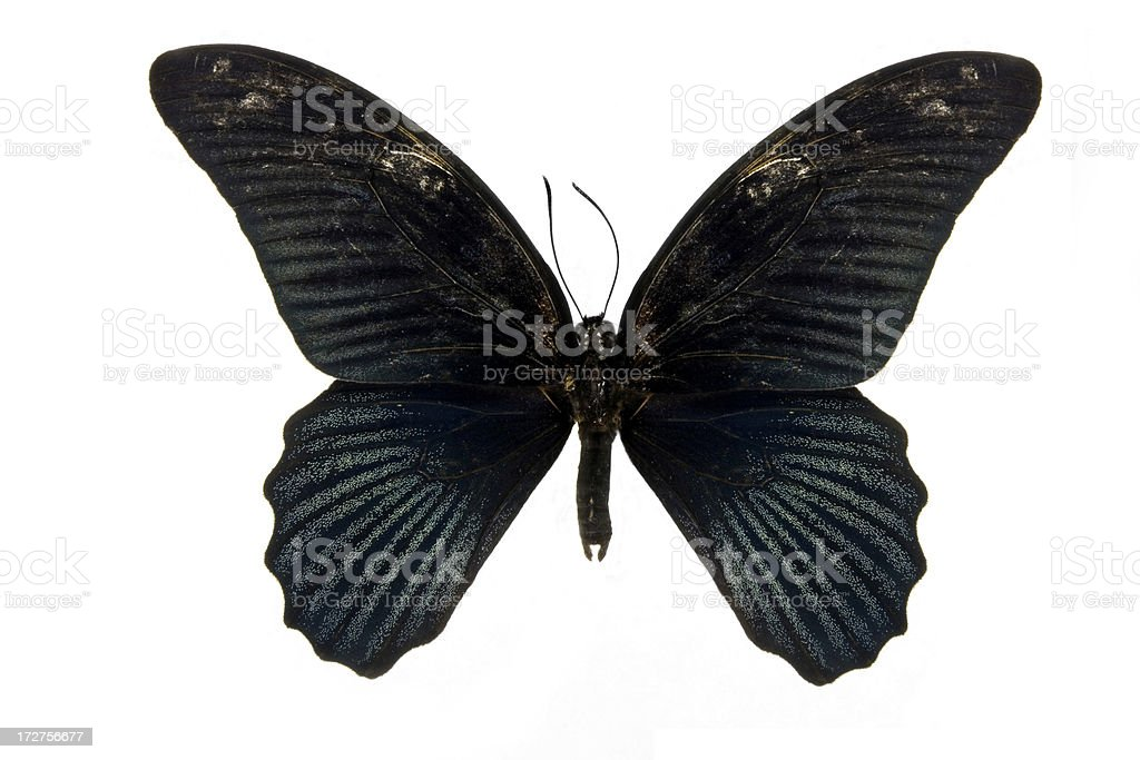 Butterfly - The Great Mormon royalty-free stock photo